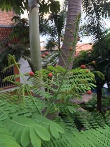 Caesalpinia pulcherrima buds