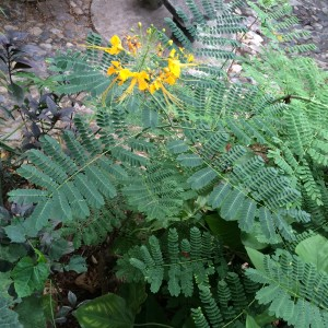 Caesalpinia pulcherrima yellow