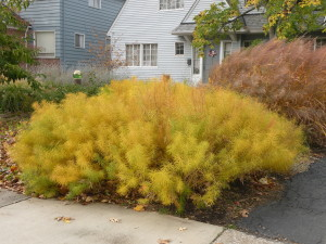 Fall color of Amsonia hubrichtii (front) and Panicum 'Northwind' (behind)