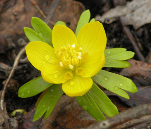 Eranthis hyemalis closeup