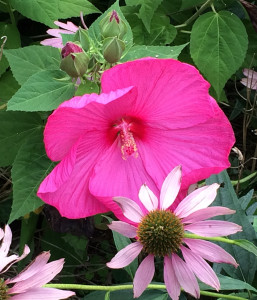 Hibiscus 'Bordeaux' with Echinacea 'Magnus'