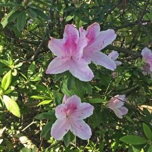 Large Azalea blossoms