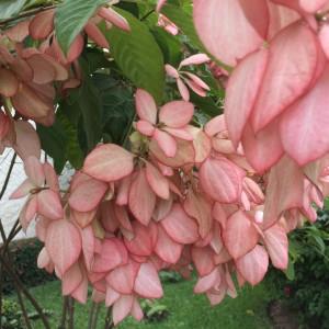 Mussaenda frondosa flower cluster