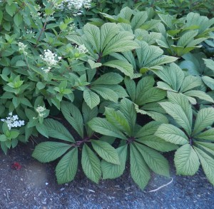 Rodgersia aesculifolia at the Maine Coastal Botanical Garden