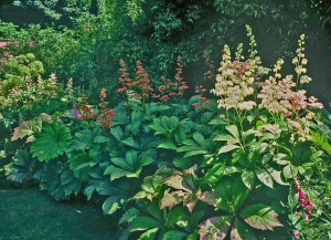 Variety of color of Rodgersia flowers; taken at Hadspen (England)