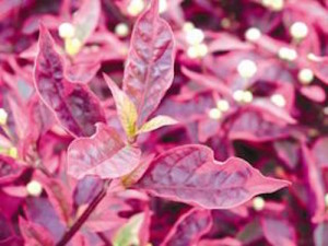 Alternanthera 'Brazilian Red Hots'-hmaplants.com