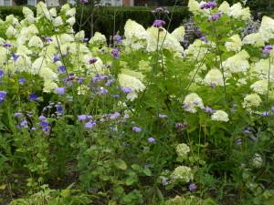 Blue/white color scheme with Hydrangea paniculata, Ageratum coelestinum, Platycodon, Verbena bonariensis