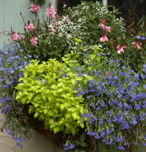 Blue/white/yellow/pink color scheme with Gaura 'Petite Pink', Euphorbia 'Breathless Blush', Veronica prostrata 'Aztec Gold', Lobelia trailing blue