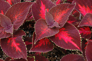 Coleus 'Kingswood Torch'-bachmanslandscaping.com