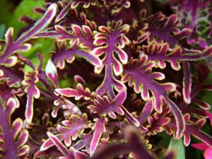 Coleus 'Kiwi Fern'-loghouseplants.com