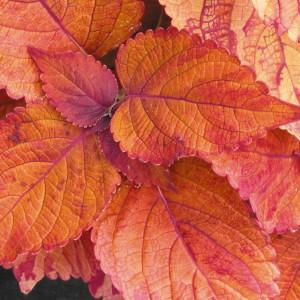 Coleus 'Sedona'-loghouseplants.com