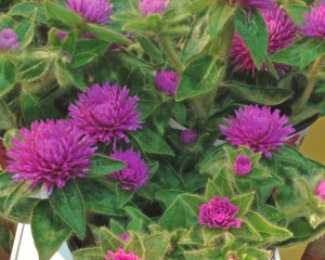Gomphrena 'Pink Zazzle'; OFA; 7/16/13