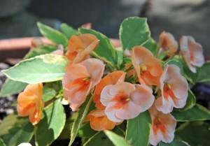Impatiens Fusion 'Peach Frost'-awaytogarden.com