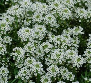 Lobularia 'Silver Stream'-gardenharvestsupply.com