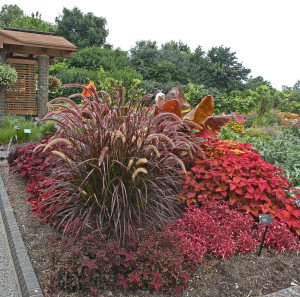 Massed annuals and tropicals: Pennisetum setaceum 'Rubrum', Coleus, Alternanthera, Canna
