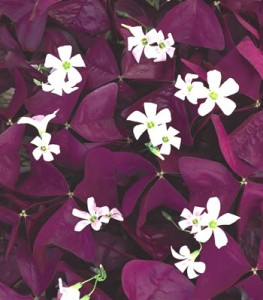Oxalis 'Charmed Wine'-sobkowich.com