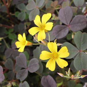Oxalis 'Zinfandel'-gardencrossings.com