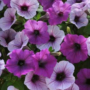 Petunia Easy Wave 'Plum Pudding Mix'-wave-rave.com