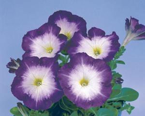 Petunia 'Merlin Blue Morn'-seedman.com