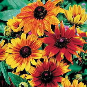 Rudbeckia 'Autumn Colors'-parkseed
