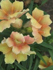 Snapdragon 'Twinny Peach'-plantingqueen.com