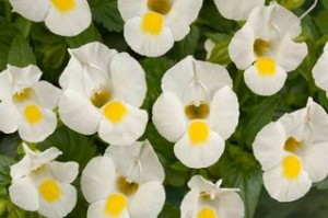 Torenia 'White Moon'-danziger.co.il.com