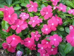 Vinca Cora Cascade 'Cherry'-parkwholesaleplants.com