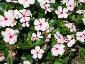 Vinca Cora Cascade 'Peach Blush'-learn2grow.com
