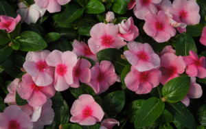 Vinca Cora Cascade  'Strawberry'-flintwood.net