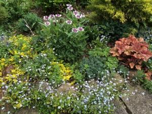 Myosotis sylvatica, Centaurea 'Amethyst in Snow', Lysimachia nummularia 'Aurea', Heuchera 'Southern Comfort'