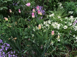 Pink and cream tulips with Phlox subulata and white Scilla hispanica