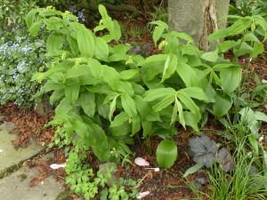 Smilacina racemosa, budded
