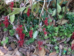 Smilacina racemosa berries in late November