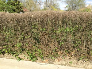 Privet hedge, full of volunteers, needs to be cut way back