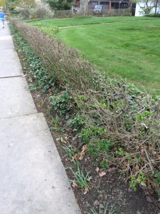 Privet hedge that has been pruned for rejuvenation