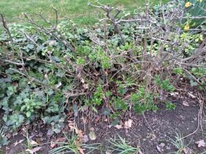 Privet hedge that has been pruned for rejuvenation still has stubs