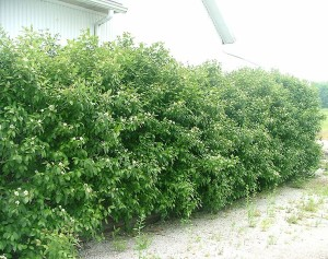 Cornus racemosa Geauga®-plants.gardensupply.com