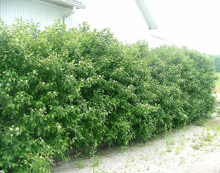 Merveilleux Cornus Racemosa Geauga® Plants.gardensupply.com