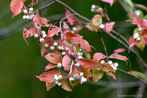 Cornus racemosa fall foliage and berries-tangphotos.photoshelter.com