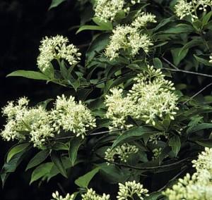 Cornus racemosa flowers
