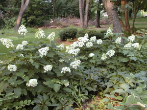 Hydrangea quercifolia as woodland hedge