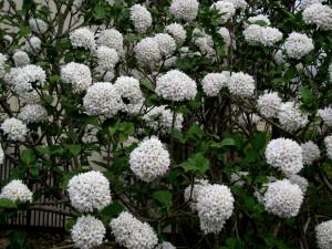 Viburnum x 'Cayuga' (carolynshadegardens.com)