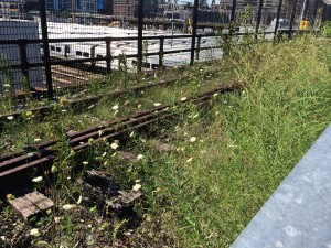 Naturalized planting in new section;  Queen Anne's Lace; High Line; 8/2/15