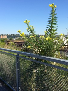 Naturalized planting in new section;  Oenothera biennis; High Line; 8/2/15