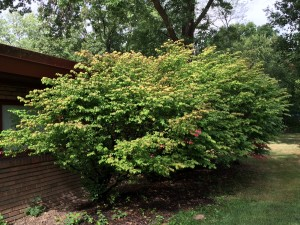 Evidence of drought stress on euonymus alata; Grebus; Cleveland Hts; 8/27/15