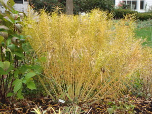 Amsonia 'Halfway to Arkansas' - Fall garden , Perennial foliage color - 18405 front - 11/14/08