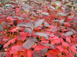 Aronia arbutifolia-themixedborder.blogspot.com
