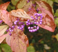Callicarpa berries in late October