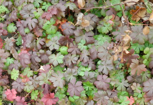 Foliage color and texture during early winter: Geranium cantabrigiense 'Biokovo'; 18405 west hill; 12/4/12