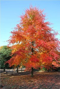 Nyssa sylvatica fall color-suggestkeyword.com